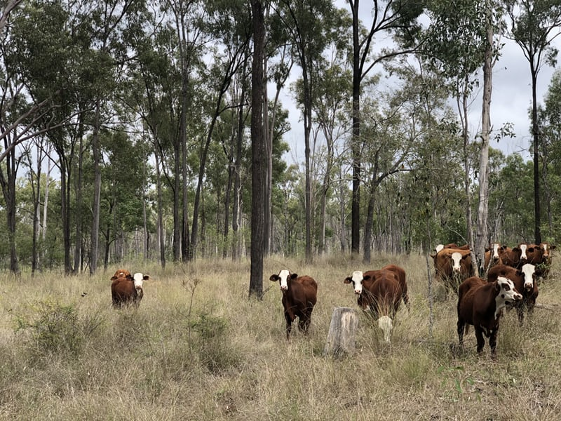 Brown and white cattle standing in a bush paddock