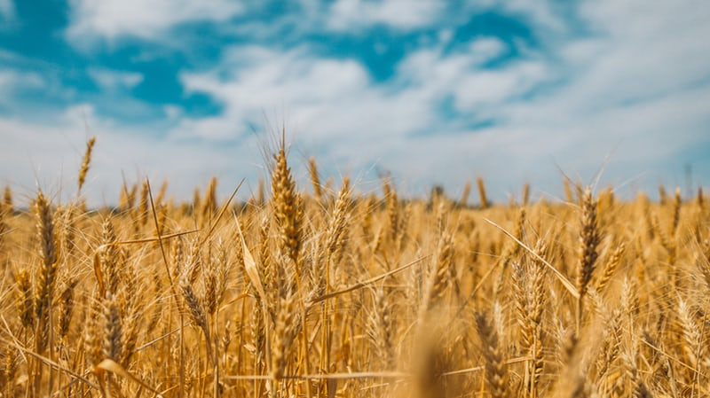 Golden Wheat with a blue sky with white clouds