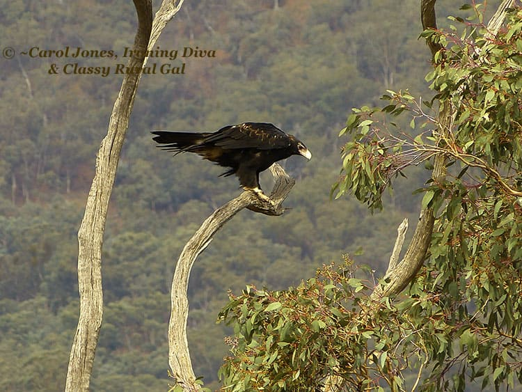 A wedge tailed eagle high up staring down from a branch of a tree