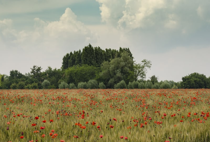 Poppies in a field with green trees and bushes behind them