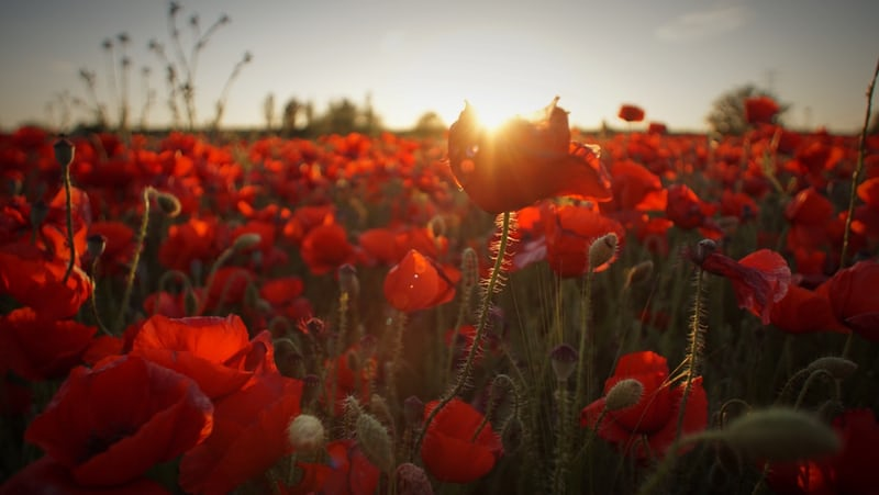 Poppies in a field in the dawn light