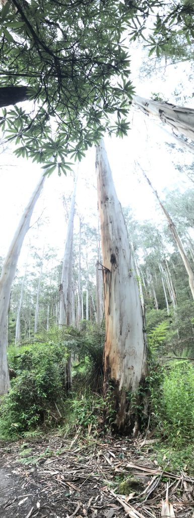 Very tall gum trees in forest