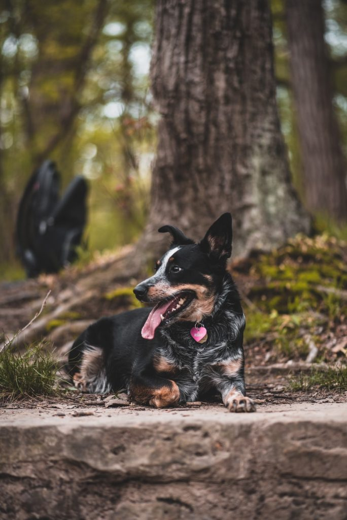 Kelpie dog sitting under a big tree,What Do You Need To Know About Planning A (Retirement) Tree Change
