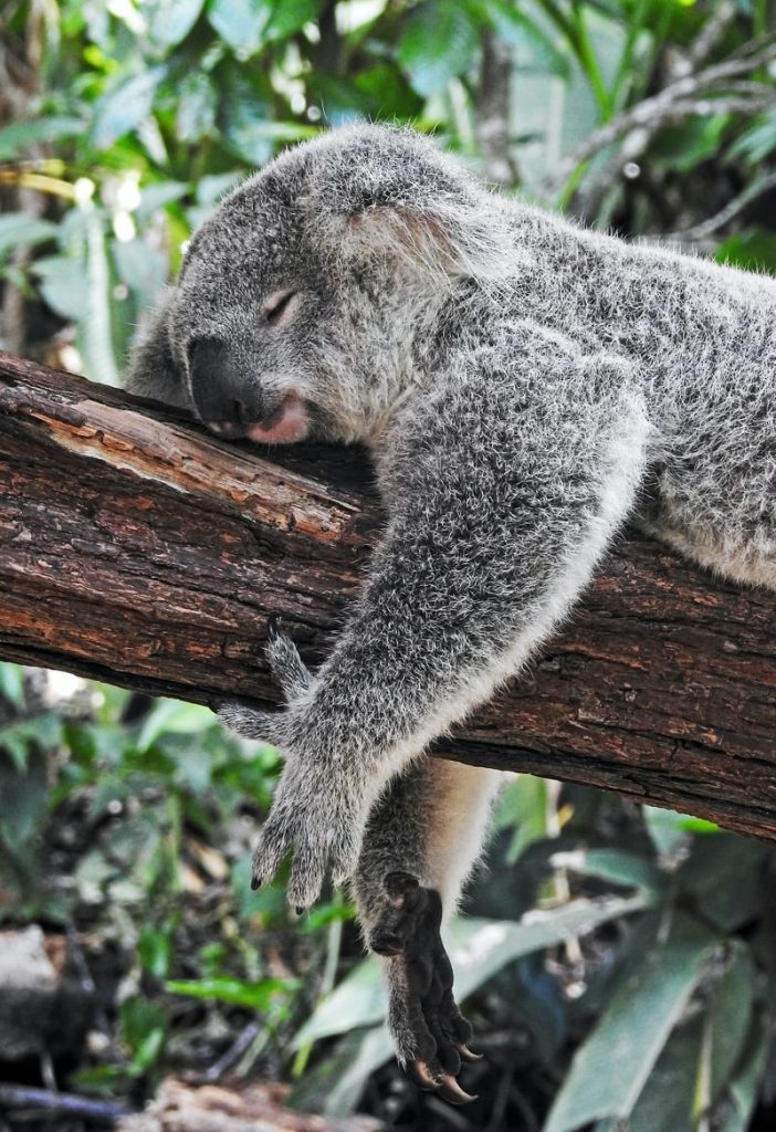 An early tree changer in Australia, the koala can sleep for around 18 hours a day.