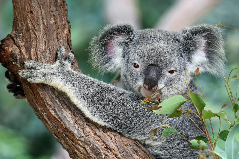 Koala holding onto a tree branch. Wonder if he is affected by lockdowns and treechange?